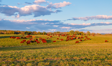 Landscape of cows grazing in pasture with blue skies and puffy clouds