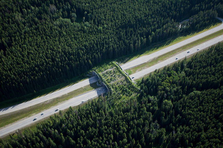 Yellowstone to Yukon Conservation Initiative. Animal crossing overpass, Banff National Park, Alberta.On view in the Meyerson Galleries.